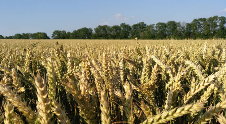 Europe's extreme heat wave in June has negatively impacted crops while isoglucose prices are seen rising to match stronger sugar prices.