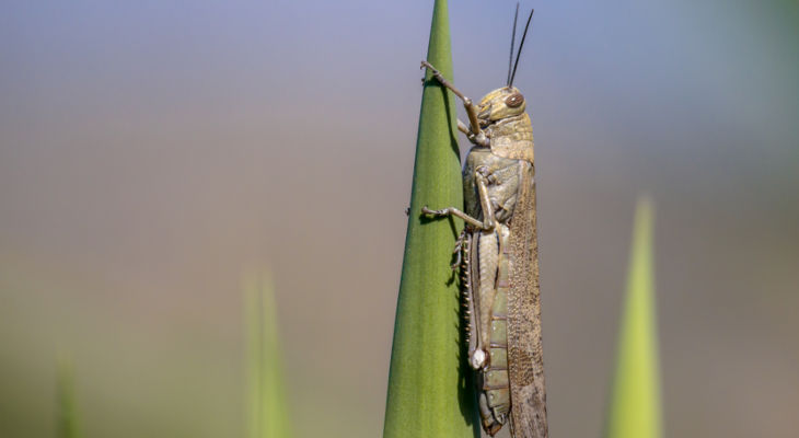 This special report looks at the growing locust threat in the East African region and what the sugar industry can expect from the coming biblical-sized plague this summer.